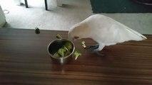 Un cacatoès refuse catégoriquement de manger ses brocolis