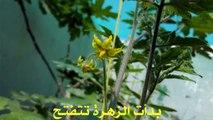 زراعة الطماطم من البداية الى النهاية 10/3/2016