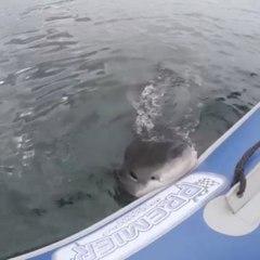 Les dents la mer en vrai !