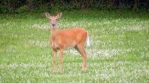 Deer walking in the field .