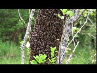 un essaim d'abeilles, la-fontaine.tv