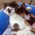 Ce chat et ces chiots piquent un petit roupi. MDR !!