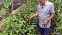 Biber için Ormus Tarım, Ormus Tarım ile Sivri Biber Yetiştiriciliği, Biber için Ormus Tarım