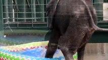 Cet éléphanteau découvre les joies du bain en plein été - Adorable