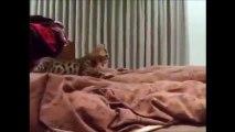 Ce chat bengale à l'air de chasser mais il veut juste réveiller son maitre