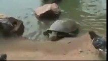 Ce pigeon s'approche trop près de cette tortue et ensuite...