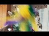Helfina coons : CHATONS maine coon DEBBY 2016