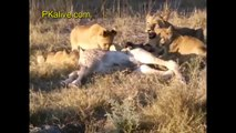 Lioness and Cubs Hunting Young Giraffe - Amazing Hunt