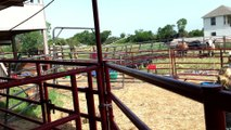 Buckin' Bulls in McKinney Texas!  Saturday Night Rodeo's at White Horse Ranch Adventures!  469-606-9472 (WHRA)
