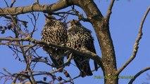 STARE Common Starling (Sturnus vulgaris)  Klipp -                          23