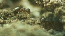Secrets de construction d'un nid de fourmis