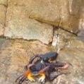 Um polvo ataca um caranguejo