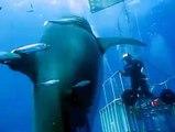 Le plus gros requin blanc jamais filmé au large des côtes Mexicaines