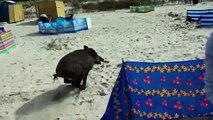 Sur une plage un sanglier surgit de l'eau !