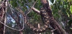 Coastal Carpet Python Proves Not All Snakes Hibernate in Winter