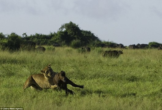 For a terrifying moment Lions is trying to pounce on a small calf - pounce on a small calf
