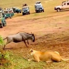 Male lion shows female how to hunt