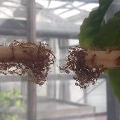 Hormigas formando un puente