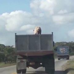 Pig escape!