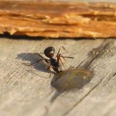 Esta formiga é russa com certeza!