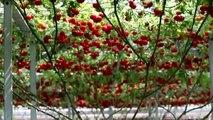 Ce plant produit des tomates à une vitesse incroyable : 33000 tomates par ans pour un seul pied