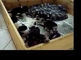 basset hound puppies !