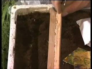 Chicorée - Conseils de Jardinage