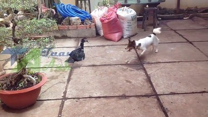 A fight between the duck and dog | Funny Video