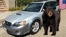 Black bear found trapped in backseat of woman's car. How it got in remains a mystery - TomoNews
