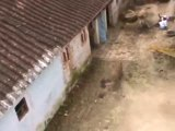 Angry Leopard At-tacks in Indian Village Gorakhpur