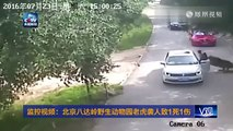 Une femme a quitté sa voiture durant un safari et a immédiatement été attaquée par un tigre.