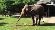Titre 1: Découvrez la patte bionique que cette éléphante a reçue pour marcher à nouveau