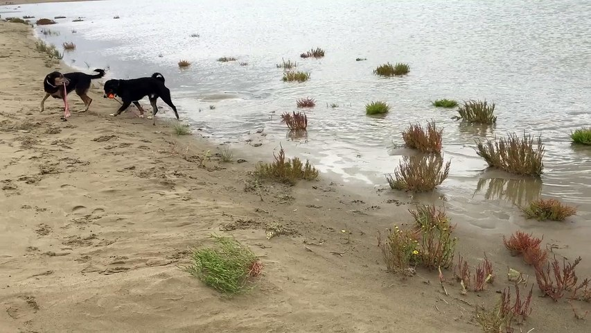 Ebats canins sur la plage de l'Espiguette septembre 2015