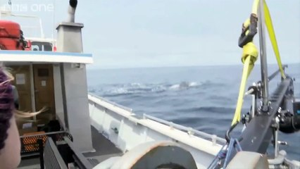 Des baleines à bosse protègent d'autres animaux d'une orque, mais personne ne sait pourquoi.