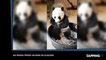 Un panda s'amuse dans un bain de glaçons (Vidéo)
