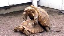 UNA FELICISSIMA COPPIA DI TARTARUGHE CANTA UNA CANZONE D'AMORE...  TURTLES IN LOVE HAVING SEX HAPPILY