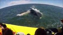 Une baleine qui surgit bouche grande ouverte en direction d'un bateau plein de touristes !