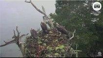 Attaque d'un Aigle d'Amérique sur un nid de rapaces