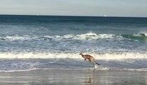 Un kangourou se baigne et s'amuse dans les vagues comme un enfant