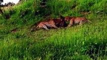 12 CRAZIEST Animal Fights Caught On Camera