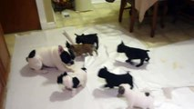 French bulldog playing with his pups !