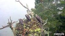 Un groupe d'aigles attaque un nid d'oiseau... Violent
