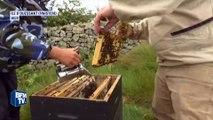 Les abeilles noires, une espèce rare et protégée