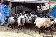 Adeta Kuzu Fabrikası Olan Bu Koyunlar Kurbanlık Fiyatlarını Düşürecek
