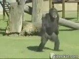 Smoking-chimpanzé-fumeur