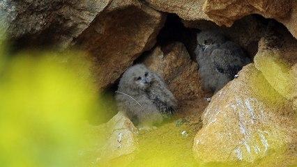 Observation de jeunes hiboux grands-ducs dans leur nid
