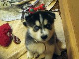 Husky Puppies at 5 weeks old whining for attention. !