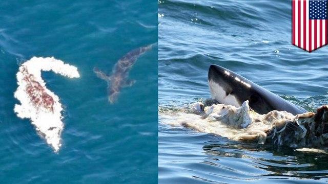 麻州沿海見小鬚鯨浮屍 被鯊群分食