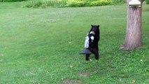 Cet ours affamé vient piquer la nourriture des oiseaux!