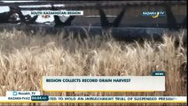 Region collects record grain harvest  - Kazakh TV